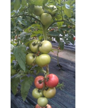 Pomidor PINK HEART 500...
