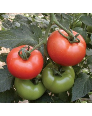 Pomidor RACHEL 500 nasion...