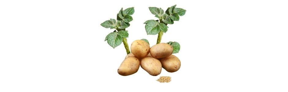 Ziemniaki z NASION